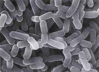 lactobacillus bacterie